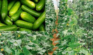 How To Start Cucumber Farming Business