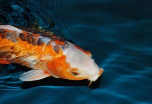 Koi - animals with the longest lifespan