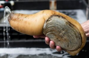 Geoduck - Panopea generosa - animals with the longest lifespan