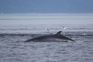 Minke whales - one of the largest whales in the world