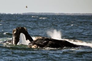 North Right Whale