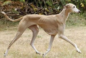 Azawakh - one of the most expensive dog breeds in the world