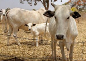alt-Prices-of-cows-in-Nigeria-img